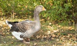 Портрет гусыни в парке в осени Стоковые Фото