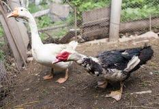 Портрет гусыни на ферме Стоковые Фотографии RF