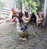 Портрет гусыни на ферме Стоковые Фото