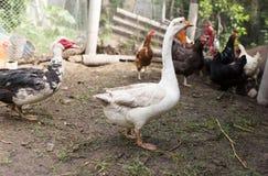 Портрет гусыни на ферме Стоковая Фотография RF