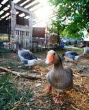 Портрет гусыни на ферме Стоковое Изображение RF