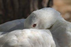 Портрет гусыни спать белой Стоковая Фотография RF