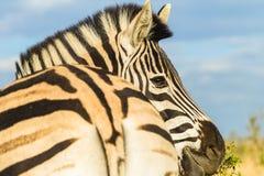 Портрет глаза головы зебры Стоковая Фотография RF