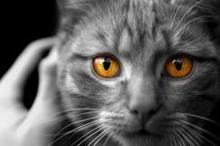 Портрет глаз кота, детальный лицом к лицу взгляд Стоковое фото RF