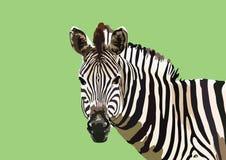 Портрет дизайна искусства вектора зебры следуя иллюстрация вектора