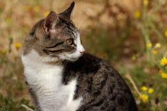 Портрет дикого бело-коричневого striped кота в сельской местности Стоковые Изображения