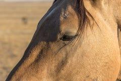 Портрет дикой лошади близкий поднимающий вверх Стоковое фото RF