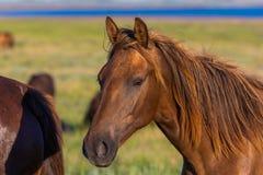 Портрет дикой лошади в живой природе Стоковая Фотография RF