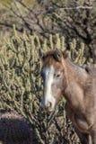 Портрет дикой лошади в пустыне Аризоны Стоковая Фотография RF