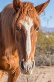 Портрет дикой лошади в пустыне Аризоны Стоковое Изображение