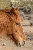 Портрет дикой лошади в пустыне Стоковые Фото