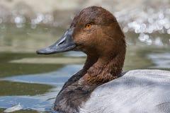 Портрет дикой утки на воде Стоковое фото RF