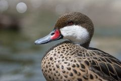 Портрет дикой утки на воде Стоковые Изображения