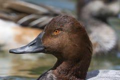 Портрет дикой утки на воде Стоковое Изображение RF