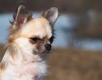 Портрет длинн-с волосами собаки чихуахуа соболя цвета стоковая фотография rf