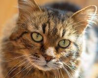 Портрет домашней кошки внутри помещения, конец-вверх стоковое фото