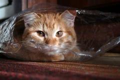 Портрет домашней кошки имбиря смотря из пакета Конец-вверх стоковые фото