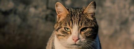 Портрет домашней кошки которая смотрит камеру на стене b Стоковые Фото