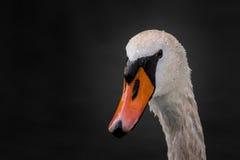 Портрет лебедя Стоковые Изображения