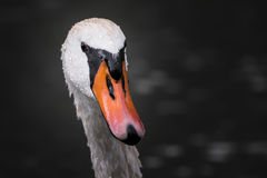 Портрет лебедя Стоковое фото RF