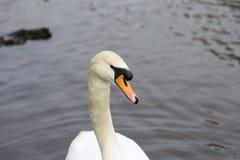 Портрет лебедя Стоковое Изображение RF