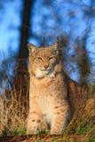 Портрет евроазиатского рыся в лесе, чехии Стоковая Фотография RF