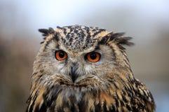 Портрет евроазиатского сыча орла стоковые фото