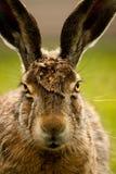 Портрет европейских зайцев Стоковая Фотография RF