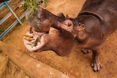Портрет еды бегемота в Ниамей на Нигере Стоковое Изображение RF