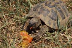 Портрет еды черепахи Стоковое Изображение RF