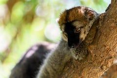 Портрет лемура на Мадагаскаре Стоковые Изображения RF