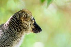 Портрет лемура на Мадагаскаре Стоковая Фотография