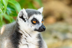 Портрет лемура на Мадагаскаре Стоковые Изображения