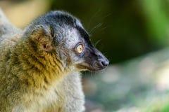 Портрет лемура на Мадагаскаре Стоковые Фотографии RF