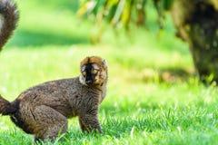 Портрет лемура на Мадагаскаре Стоковая Фотография RF