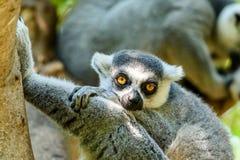 Портрет лемура на Мадагаскаре Стоковое Изображение