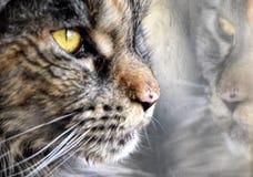 Портрет енота Мейна кота смотря через окно Стоковое Изображение RF