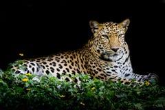 Портрет леопарда Стоковое Фото