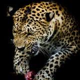 Портрет леопарда Стоковое Изображение