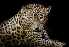 Портрет леопарда Стоковые Изображения RF