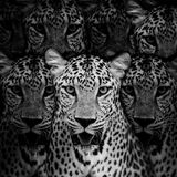 Портрет леопарда Стоковые Изображения