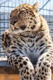 Портрет леопарда Стоковые Фотографии RF