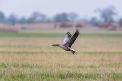 Портрет летать серый anser anser гусыни в луге Стоковые Изображения RF