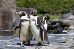 Портрет детали пингвина 2 пингвина с клювом в среднем, ищущ пара пингвинов Стоковые Изображения
