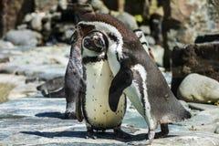 Портрет детали пингвина 2 пингвина с клювом в среднем, ищущ пара пингвинов Стоковое Фото