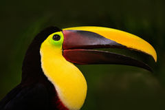 Портрет детали toucan Портрет Билла toucan Красивая птица с большим клювом toucan Большая птица Chesnut-mandibled клюва сидя даль Стоковое Изображение RF