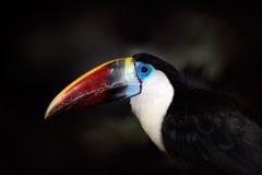 Портрет детали toucan Портрет Билла toucan Красивая птица с большим клювом Toucan большой птицы счета Бело-throated, tuc Ramphast Стоковые Изображения RF