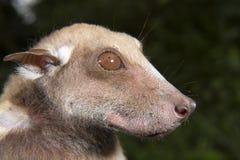 Портрет летучей мыши плодоовощ мужского Buettikofer epauletted (buettikoferi Epomops) Стоковое Изображение RF