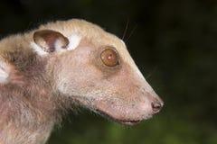 Портрет летучей мыши плодоовощ мужского Buettikofer epauletted (buettikoferi Epomops) Стоковая Фотография RF