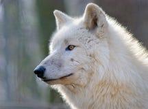 портрет ледовитого волка в лесе Стоковое Изображение